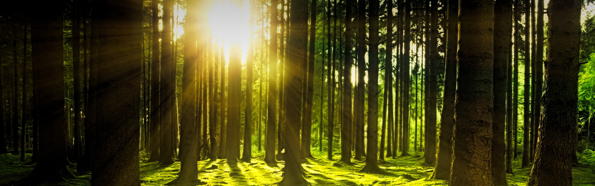 The sun shinning through a forest of pine trees at sunrise